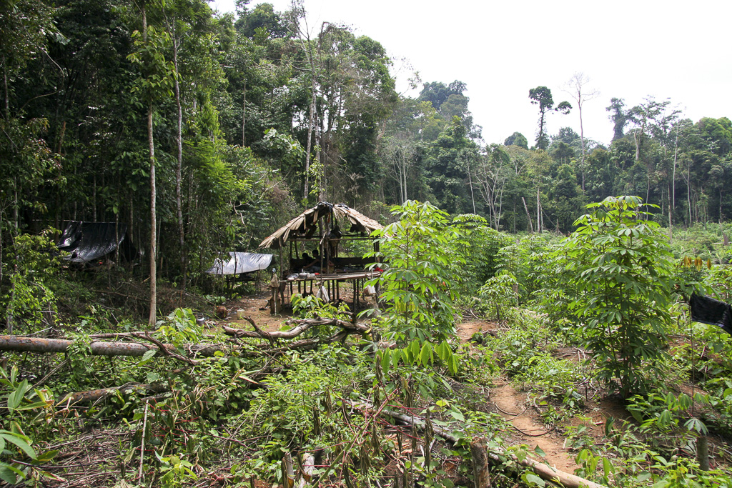 View of an Orang Rimba hut surrounde by yam plantations. Still they live in a semi-nomadic way of life. Jungle Area of Bukit Duabelas National Park. Jambi province. Sumatra. Indonesia.