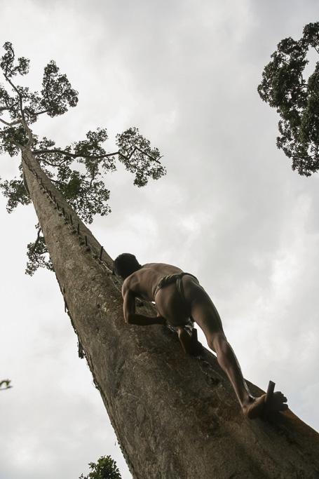 Orang rimba man going up a tree to gather the honey. Jungle Area of Bukit Duabelas National Park. Jambi province. Sumatra. Indonesia.