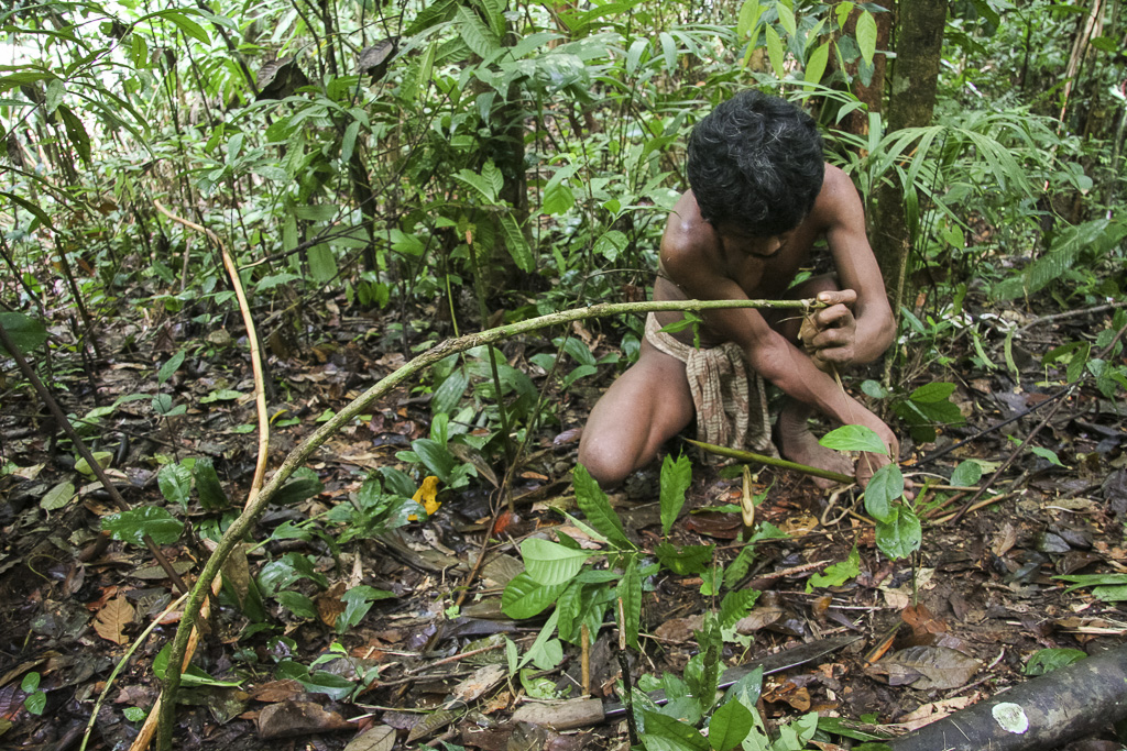 Orang rimba man in the jungle preparing a trap for bird. Jungle Area of Bukit Duabelas National Park. Jambi province. Sumatra. Indonesia.