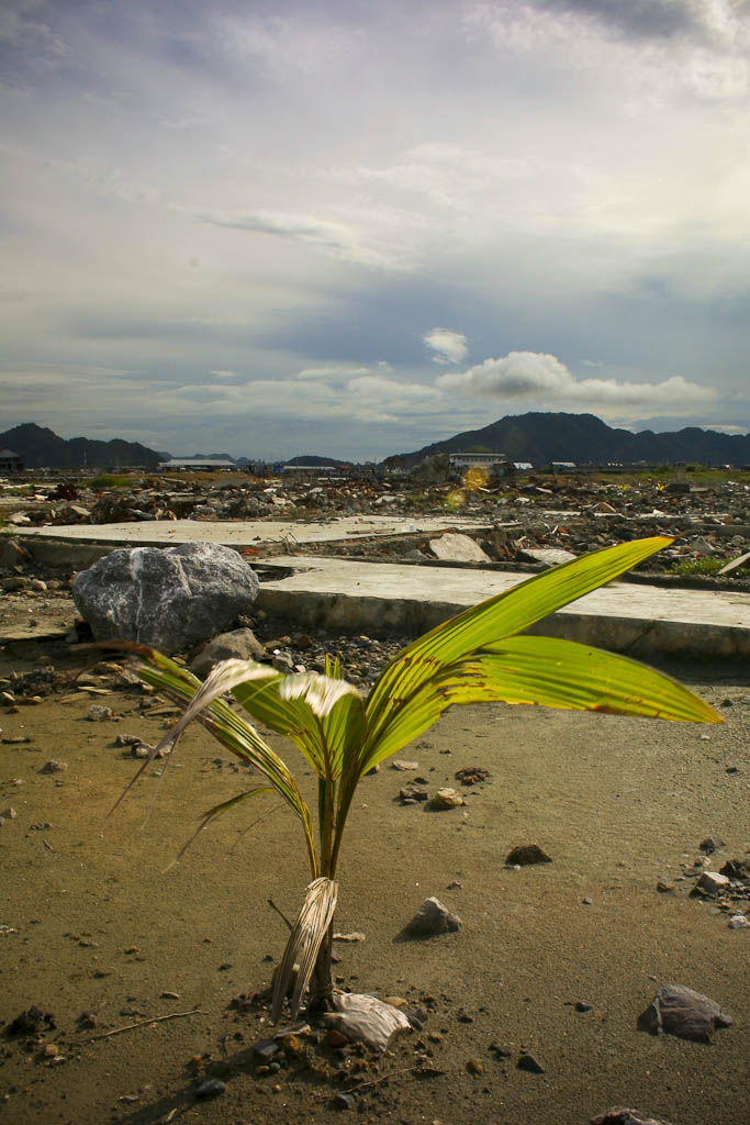 Just 10 months after the devastation a coconut tree had grown almost one meter, a symbol of hope in a destroyed area. One year after 2004 December 26 tsunami reportage. Banda Aceh, Aceh province, Sumatra, Indonesia.